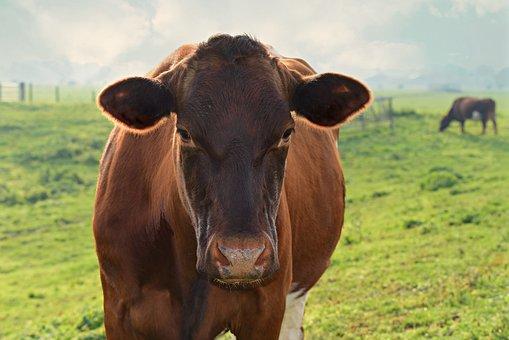 Cow, Cattle, Animal, Mammal, Head, Ear, Standing