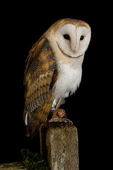 Owl, Bird, Animal, Nature, Feather, Portrait, Wildlife