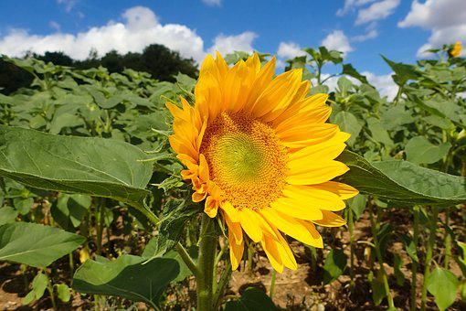 Sunflower, Beautiful, Blossom, Bright, Daytime, Field