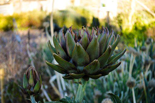 Artichoke, Plant, Fall, Food, Bloom, Vegetables