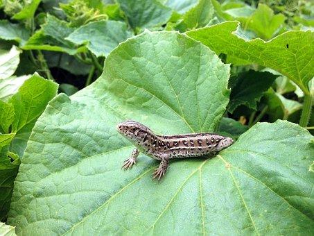 Newt, The Lizard, Foliage, Gad, Reptiles, Amphibians