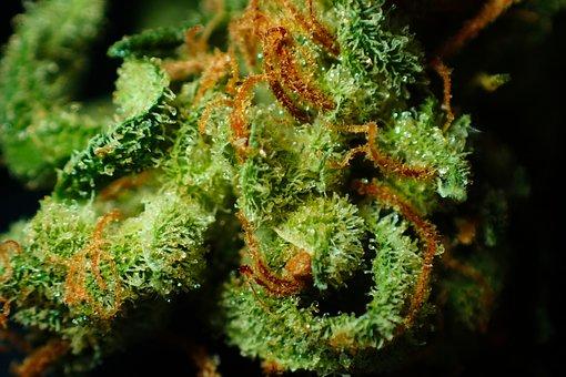 Bud, Cannabis, Close Up, Dope, Drug, Flower, Ganja