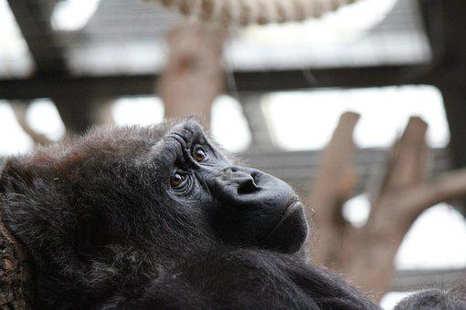 Gorilla, Ape, Animal, London Zoo, Portrait