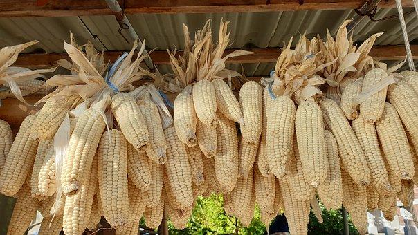 Corn, Grain, Harvest, Autumn, Nature, Yellow
