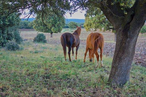 Horses, Field, Oaks, Nature