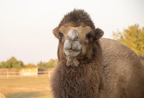 Camel, Hunchback, Bump, Caravan, Dromedary, Zoo, Animal