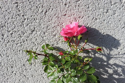 Wall, Roughcast, Pink, Rosebush, Light Of Autumn