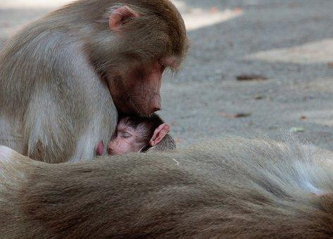 Monkey, Primate, Animal, Mammal, Monkey Nut