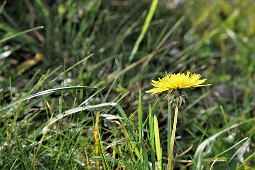 Dandelion, Meadow, Blossom, Bloom, Flower, Plant