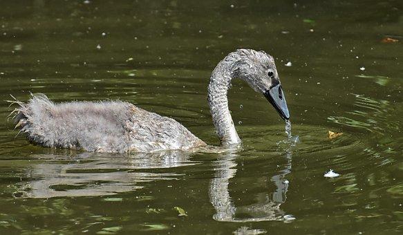 Swan, Young Animal, Water Bird, Bird, Cute, Nature