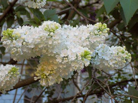 Lilac, Flowers, Bloom, Spring, Bush, Nature, Plant