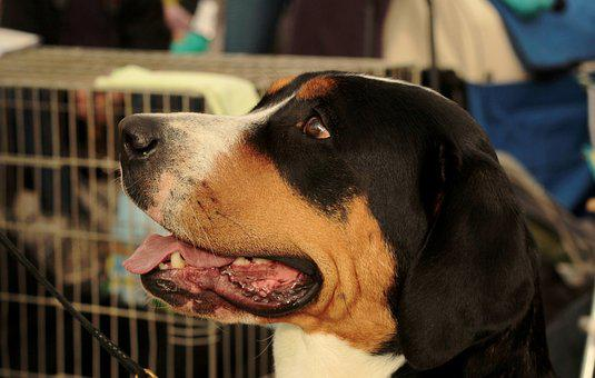 Dogshow, Great Swiss Mountain Dog, Portet, Dog, Pet