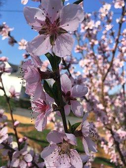 Spring, Fruit Tree, Plum