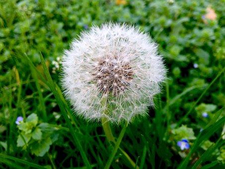 Dandelion, Nature, Pointed Flower, Round