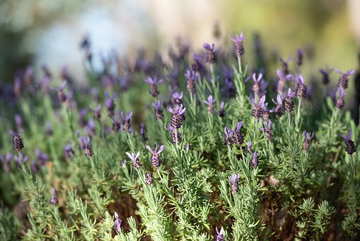 Lavender, Lavandula, Flowers, Flora, Violet, Purple