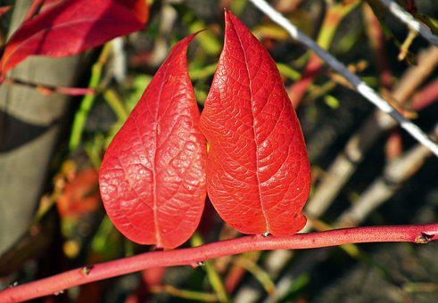 Foliage, Bilberry American, Red, Autumn, Nature, Leaves