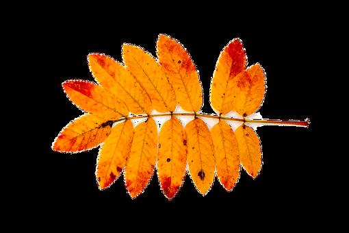 Mountain Ash, Autumn, Nature, Leaves, Red, Orange, Leaf