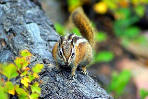 Chipmunk On Fern Lake Trail, Chipmunk, Rodent, Furry