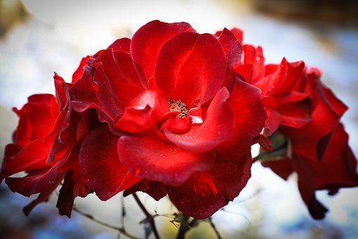 Rose, Petal, Flower, Red, Nature, Love, Romantic