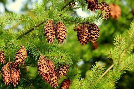 Spruce, Cones, Needle, Tree, Coniferous, Green, Sprig