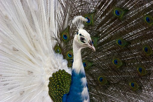 Peacock, Birds, Animals, Spring, Wings, Beautiful