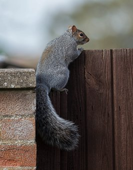 Squirrel, Wall, Fence, Autumn, Animal