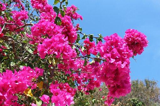 Bougainvillea, Plant, Greece, Exotic, Flora, Summer