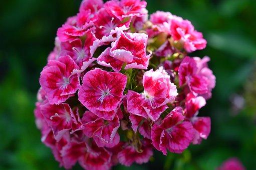 Sweet William, Carnation, Flowers, Close Up, Garden
