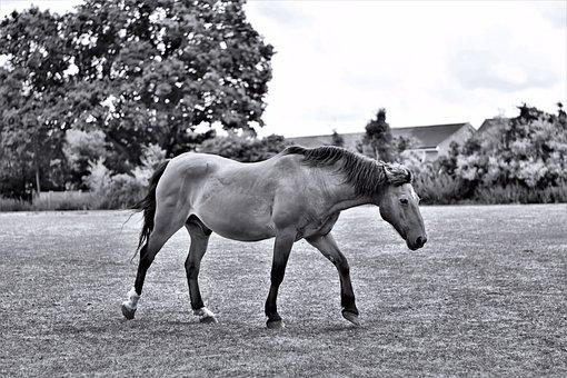 Black And White, Horse, Field, Trot, Running, Trotting