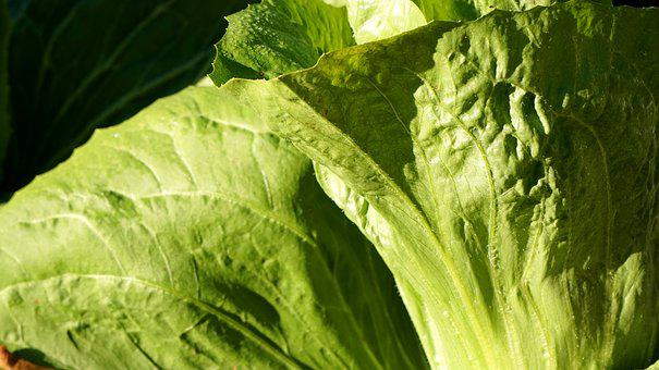 Salad, Sugarloaf, Fresh, Harvest, Vegetables