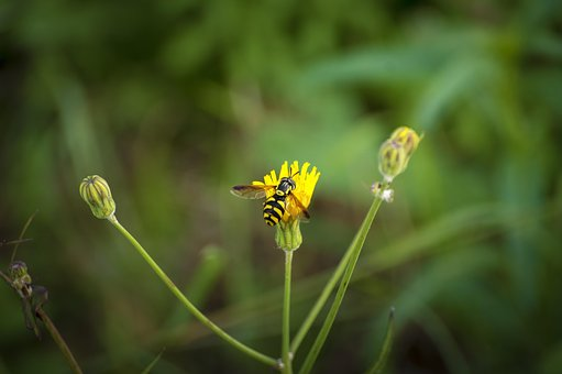 Wasp, Insect, Wild Flower, Flower