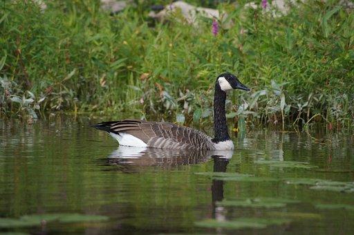 Bird, Duck, Goose, Fall, Water
