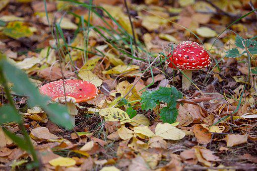 Mushrooms, Autumn, Forest, Red, White, Leaves