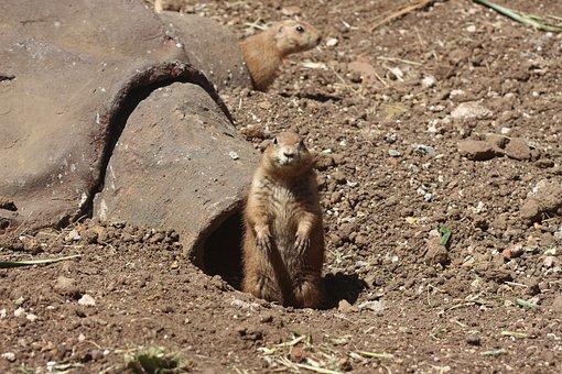 Groundhog, Animal, Mammal, Cute, Zoo