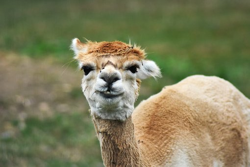Llama, Adorable, Alpaca, Animal, Beautiful, Brown