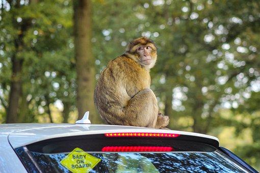 Barbary Macaque, Barbary Monkey, Monkey On Car