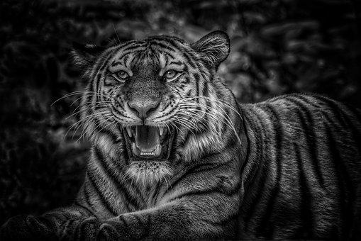 Tiger, Black White, Black And White, Big Cat, Cat