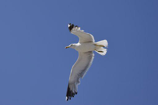 Seagull, Blue, Feather, Freedom, Flying, Bird, Wing