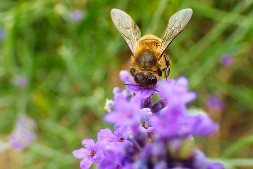 Bee, Lavender, Beautiful, Blossom, Bug, Bumblebee
