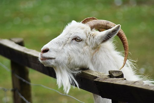 Goat, Animal, Billy, Buck, Cage, Cute, Domestic, Eyes