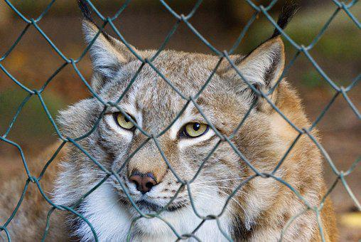 Lynx, Imprisoned, Enclosure, Fence, Caught, Captivity