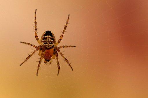 Spider, Araneus, Close Up, Macro, Garden Spider