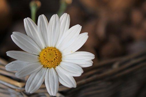 Daisy, Flower, Blossom, Nature, White, Plant, Summer