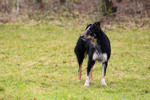 Wet Dog, Dog In Field, Black Dog, Tan Dog, Collie