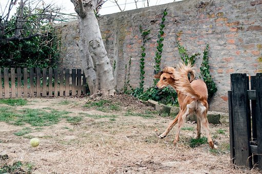 Dog Playing, Saluki, Persian Greyhound, Greyhound, Pet