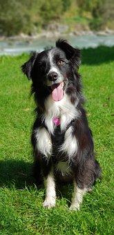 Border Collie, Dogs, Animals