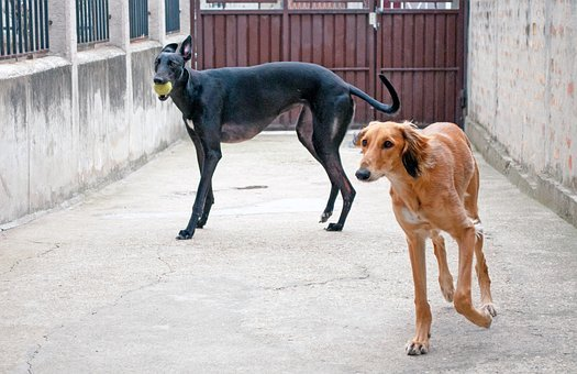 Dogs Playing, Saluki, Persian Greyhound, Greyhound, Pet