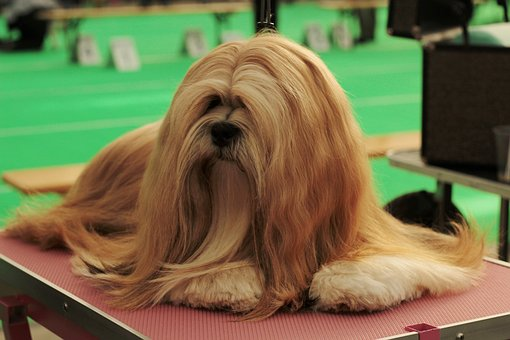 Dogshow, Lhasa Apso, Dog, Pet, Remote Access, Dog Breed