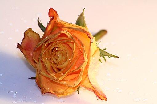 Rose, Orange, Drop Of Water, Flower, Blossom, Bloom
