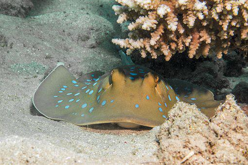 Blue Spotted Stingrays, Rays, Coral, Egypt, Underwater